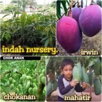 paket 3 jenis bibit buah mangga Irwin-mahatir-chokanan super