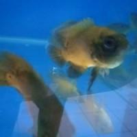 Ikan Hias Oscar Paris XL 10 CM Aquarium Garansi