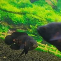 Ikan Hias Oscar Batik XL +- 10 CM UP Aquarium Garansi
