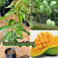 bibit buah mangga madu super(buah rasa manis)