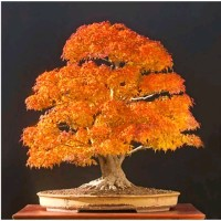 Bibit Benih Biji Pohon Bonsai Maple Kuning Acer Truncatum Shantung