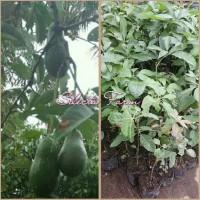 h3!i tanaman bibit buah alpukat hass
