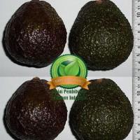 spg bibit alpukat hass / bibit buah / tanaman