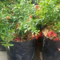 restock* bibit tanaman bahan bonsai buah delima mini berbunga