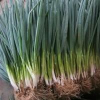 Benih / Seeds Sayur Daun Bawang Cocok Untuk Berbagai Masakan