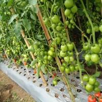 Benih Tomat Latansa - Bibit Tanaman Tomat Buah Lebat - Biji Sayur Tavi