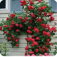 Bibit / Benih Biji Bunga Mawar Rambat Red Climbing Rose isi 20 Biji