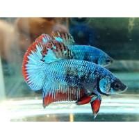 Jual Ikan Cupang Hias Pk Avatar Kab Tegal Mars Betta Farm Tokopedia