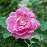 Rose oil - Minyak mawar (Rosa centifolia) 10 ml