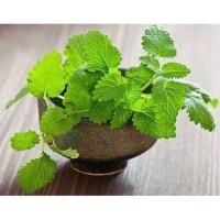 Bibit / Benih Biji Tanaman Herbal Daun Mint Spearmint Isi 100 Biji