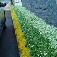 Promo 3 jenis tanaman hias / tanaman pembatas / tanaman pagar