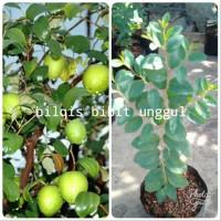 bibit pohon bidara arab super 50-60 cm