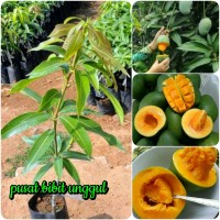 bibit buah mangga alpukat