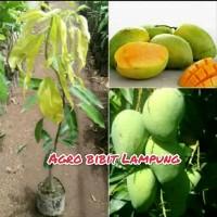 bibit buah mangga harumanis atau arumanis