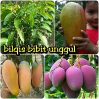 paket 2 jenis bibit buah mangga irwin chokanan kiojay bibit kuali