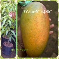 bibit buah mangga mahatir