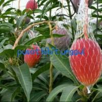 bibit buah mangga yuwen super