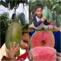 paket bibit buah 2 jenis mangga dan jambu sukun merah