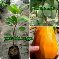 bibit tanaman buah mangga madu kualitas super