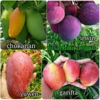 Bibit tanaman buah mangga import 4 jenis-yuwen-garifta-irwin-chok