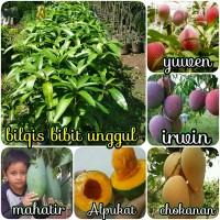 paket 5 jenis bibit buah mangga yuwen-irwin-chokanan-mahatir-alpu