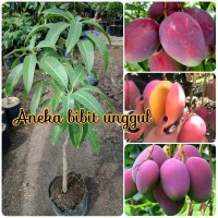 bibit buah mangga irwin super hasil okulasi mangga ungu