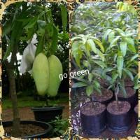 bibit buah mangga golek india - tinggi 60cm