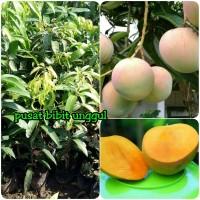 Bibit Tanaman Buah Mangga apel berkualitas super-pusat bibit