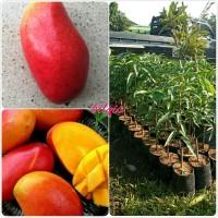 Bibit buah Mangga red emperor-tanaman berkualitas-bilqis bibit