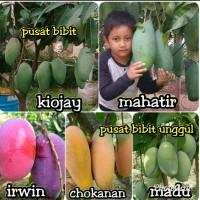Promo 5 Bibit Buah Mangga Madu-Irwin-Chokanan-Kiojay-mahatir supe