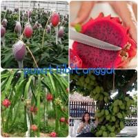 paket 3 bibit promo mangga irwin- nangka mini-buah naga merah