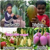 bibit buah mangga impor 5 jenis mahatir yuwen irwin nam dok mai k