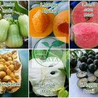paket 6 bibit buah jambu madu deli mangga alpukat jambu sukun mer