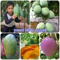 paket 5 bibit buah mangga kiojay mangga chokanan mangga irwin ma