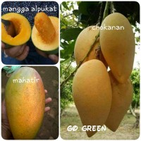Promo Bibit buah mangga 3 batang chokanan - mahatir- mangga alpuk