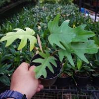 Philo / Philodendron mayoi - Tanaman hias Indoor / Bibit tanaman