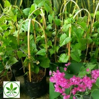 Bibit Bunga Air Mata Pengantin/Tanaman Merambat Bunga Air Mata pengant