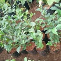 Tanaman hias teh-tehan - Tananan pagar - pohon teh tehan