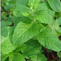 benih egyptian mint round leaf herb