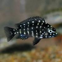 Ikan Hias Cichlid Tropeus Duboisi Aquarium Garansi