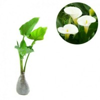 Promo Bibit Kebun sehat Tanaman Bunga Calla lily / Calla lili putih