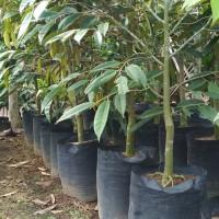 bibit buah durian montong bercabang banyak tinggi 1.5-2 meter