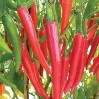 Bibit / Benih Biji Cabe Merah Besar Pedas Membara Isi 50 Biji