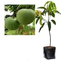Bibit Mangga Apel Pohon Mangga Bibit Buah Mangga Apel