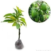 Bibit tanaman alpukat tanpa biji tinggi 50cm .