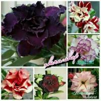 5 paket bibit bunga kamboja