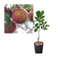 bibit tanaman buah rambutan rapiah pohon rambutan rapiah