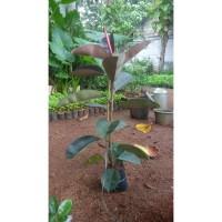 bibit tanaman daun karet kebo pohon karet kebo