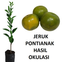 bibit tanaman jeruk pontianak bibit tanaman jeruk pontianak okulasi