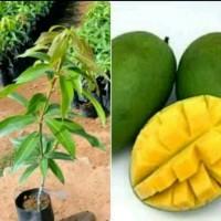 bibit tanaman mangga indramayu hasil okulasi lebih cepat berbuah